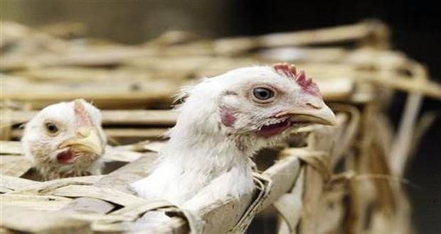 40 more poultry birds dead in Meghalaya