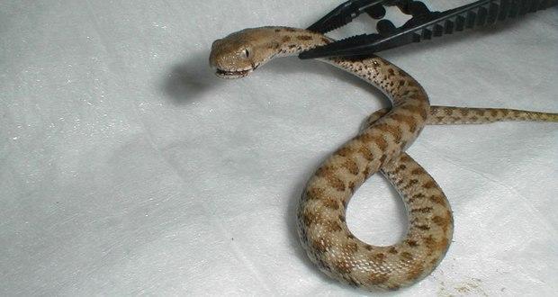 Viper snake causes panic in Kolkata hospital