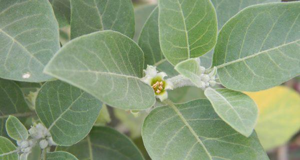 use ashwagandha leaves for weight loss  thehealthsite