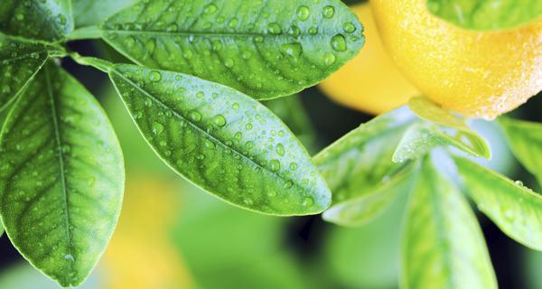 Natural vaginal wash -- Lemon leaves