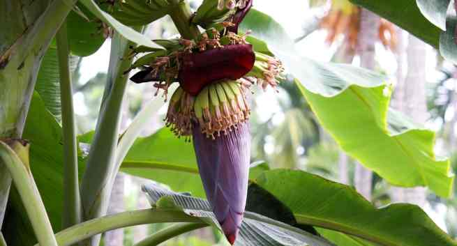 5 Health Benefits Of Eating Banana Flowers Thehealthsite Com