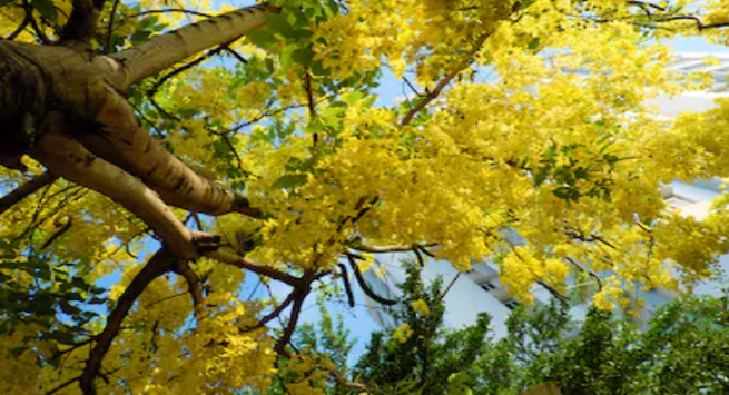 Amaltas tree cover