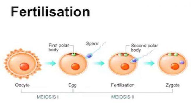 Fertilization-male