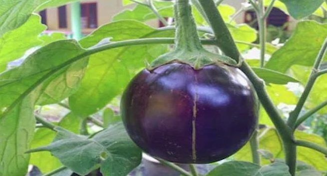 is-brinjal-harmful-for-health