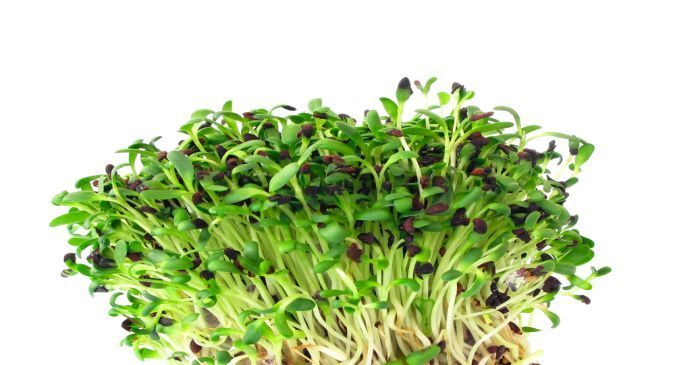 Alfalfa sprouts health benefits
