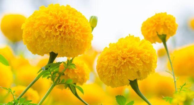 Marigold health benefits 1