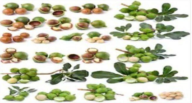 Macadamia-nuts6