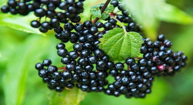 Elderberries recipes
