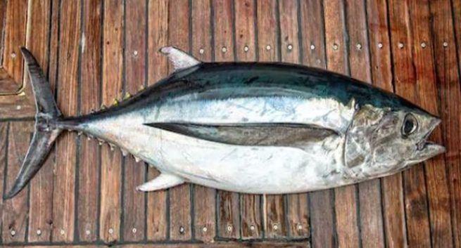 tuna health benefits