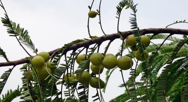 आंवले के बीज या गुठली के फायदे